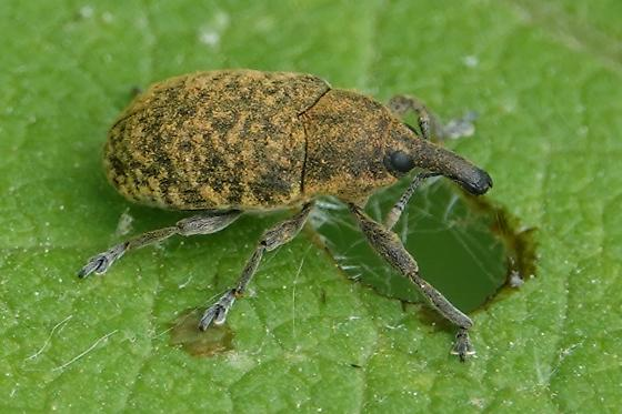 Unknown Weevil - Larinus planus