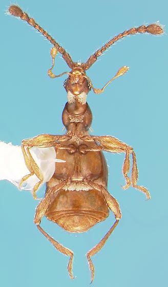 Staphylinid - Pselaphus erichsoni