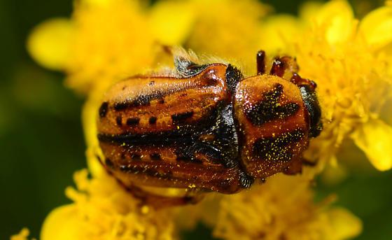unknown beetle - Euphoria kernii