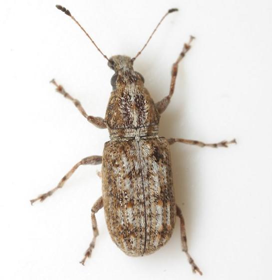 Ischnocerus infuscatus Fähraeus - Ischnocerus infuscatus