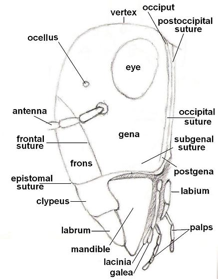 diagram of an insect - side view of head
