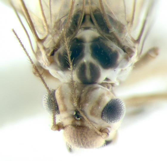 Psocidae, Common Barklice, head & thorax - Blastopsocus lithinus - female