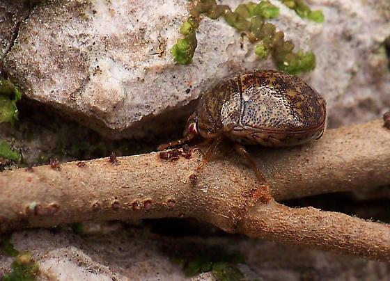 October Entry For Bean Plataspid In Georgia - Megacopta cribraria - male