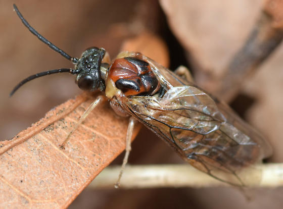 common sawfly - Craterocercus fraternalis - female
