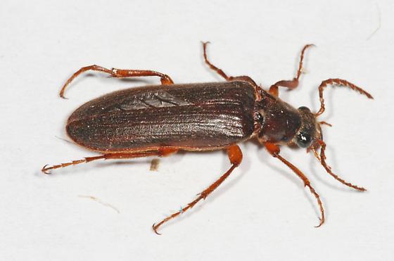 Elateroidea? - Selonodon speratus