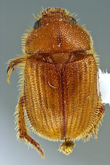 Ochodaeidae?