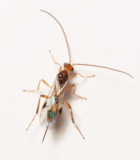 Braconidae, dorsal - Meteorus - female