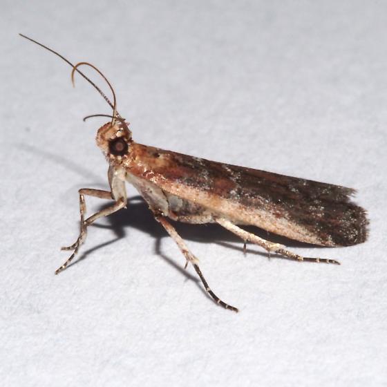 5923 – Honora montinatatella ? - Adelphia petrella