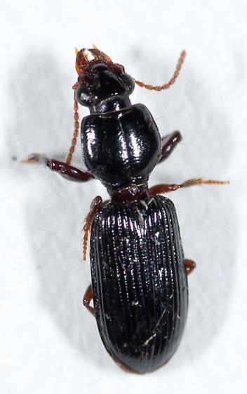 Carabidae - Scaritinae? - Clivina americana