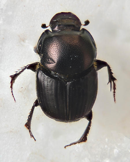 Canthon ? - Onthophagus taurus - female