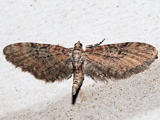 Eupithecia coloradensis