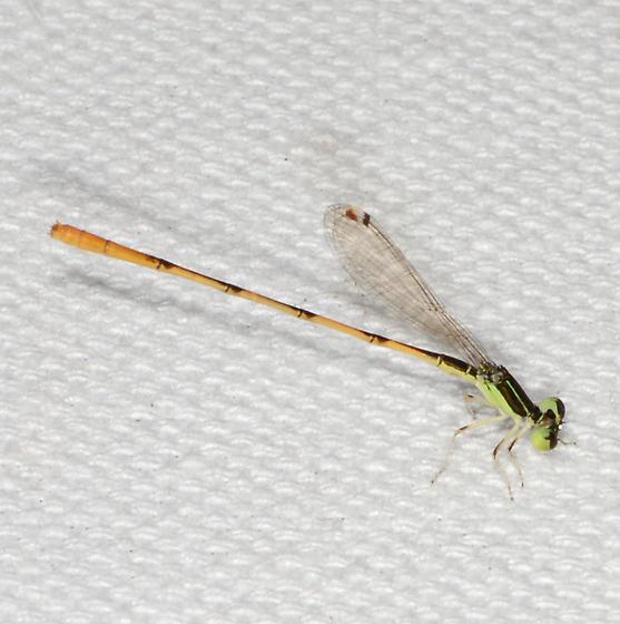 Ischnura hastata - Citrine Forktail - Ischnura hastata