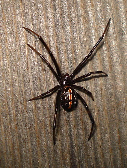 Black widow spider ? - Latrodectus hesperus