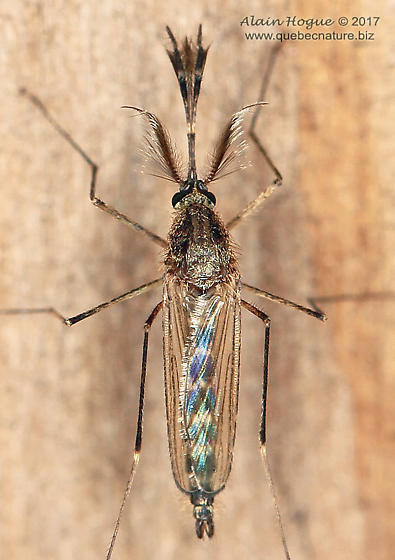 Culicidae - Aedes vexans - male