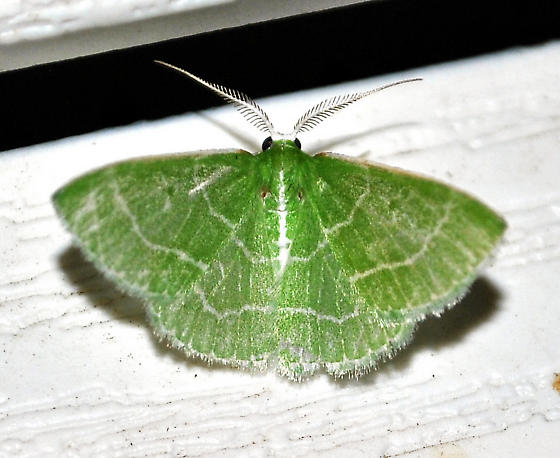 Synchlora aerata - male
