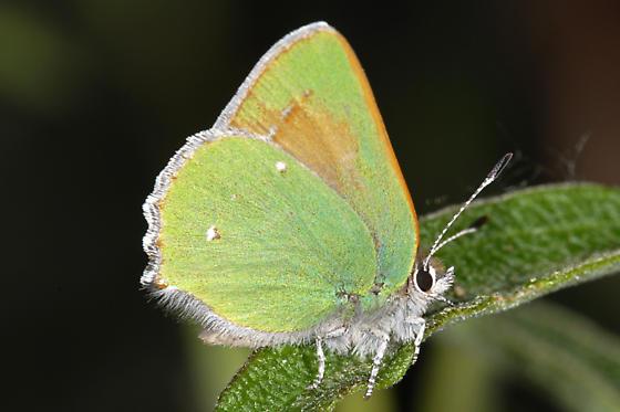 Callophrys dumetorum ?? - Callophrys dumetorum
