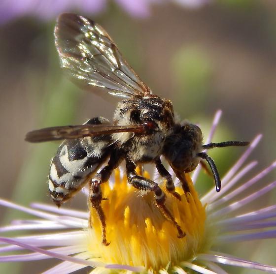 Bee - Xeromelecta californica - female