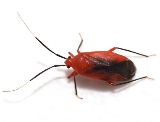 Hemipteran - Coccobaphes frontifer