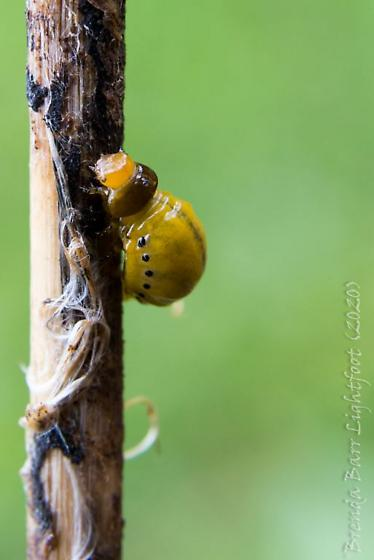 Yellow Larvae