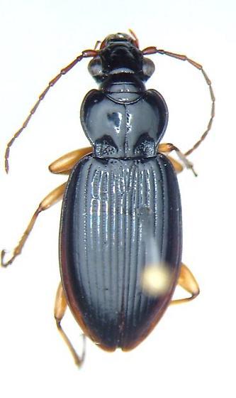 Patrobus longicornis