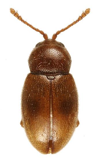 Unknown beetle - Atomaria ephippiata