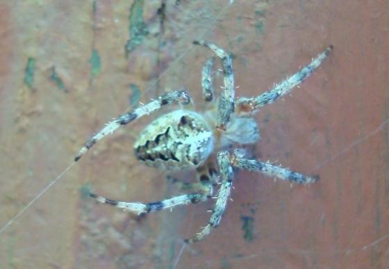 Spider - Araneus nordmanni