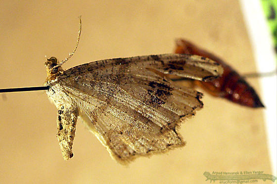 Common Angle - Macaria aemulataria
