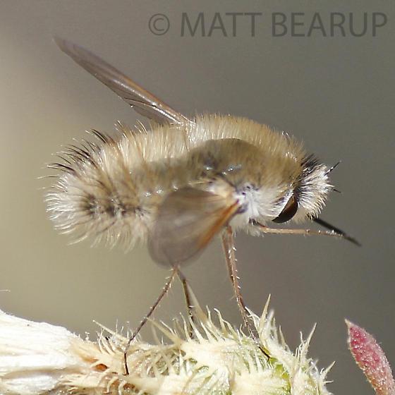 Fuzzy Bee Fly - Anastoechus