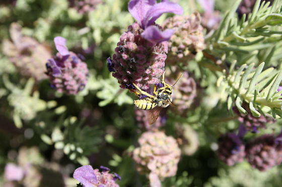 Cuckoo bee visiting bee balm flower - Nomada