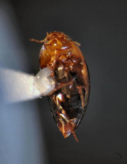 Noteridae - borrowing water beetle - Hydrocanthus atripennis