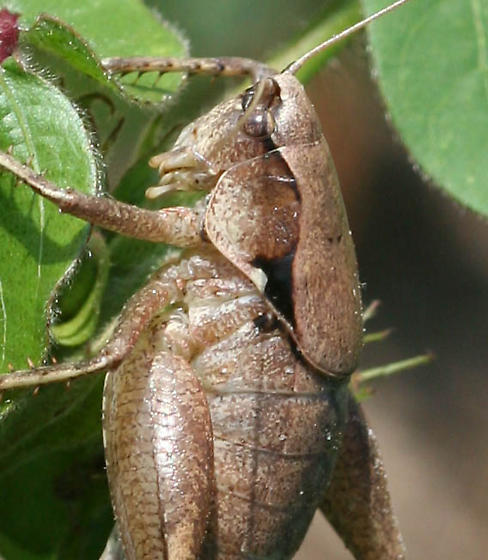 Robust shieldbacked katydid