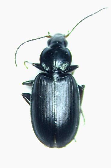 Agonum placidum - female