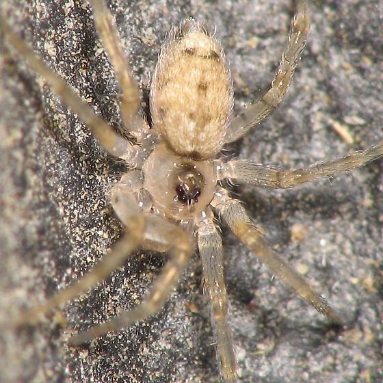 Tiny spider - almost transparent - Oecobius
