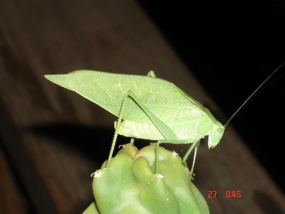 Katydid??? if so what kind? - Microcentrum californicum - female