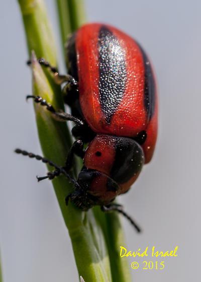 Beetle - Entomoscelis americana