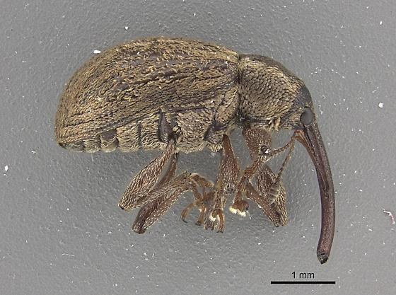 Weevil - Anthonomus ater