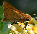Fiery Skipper (Hylephila phyleus) on Lantana depressa - Hylephila phyleus