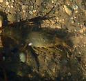 light-colored crawfish