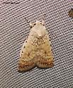 Speckled Rustic - Caradrina multifera