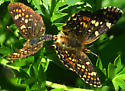 field crescents, mating - Phyciodes pulchella - male - female