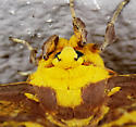 Eacles imperialis - Imperial Moth - Hodges#7704 - Eacles imperialis