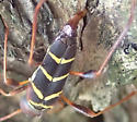 Beetle - Neoclytus acuminatus - female