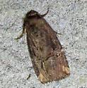 Unidentified Moth - 3 - Elaphria versicolor