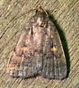 Orange-spotted Idia Moth  - Idia diminuendis