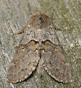 four-spotted gluphisia moth - Gluphisia avimacula