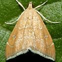 Moth - Scybalistodes vermiculalis