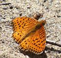 Which fritillary is this? - Speyeria aphrodite