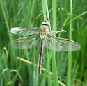 damaged wing of Common Green Darner - Anax junius - female