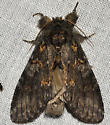 Peridea angulosa – Angulose Prominent Moth - Peridea angulosa