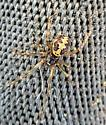 Trianglez - This guy was in the shower and too close to my privates for comfort. - Steatoda triangulosa